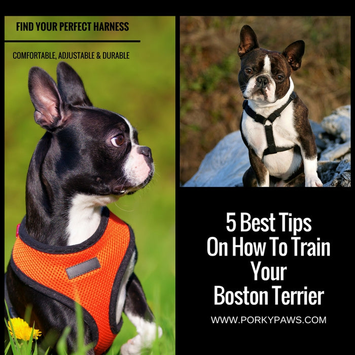 5 Best Tips On How To Train Your Boston Terrier