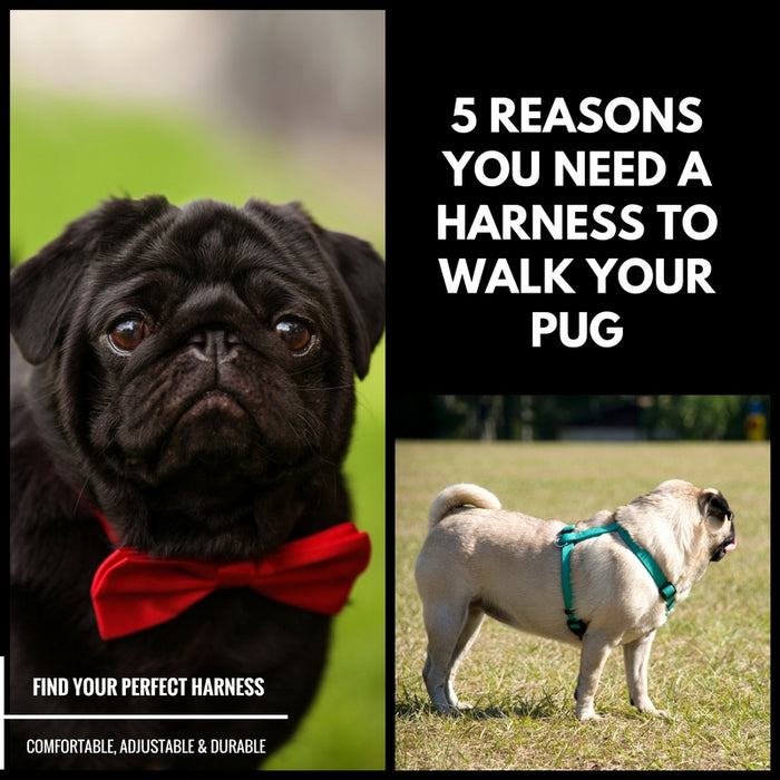 5 Reasons You Need a Dog Harness to Walk Your Pug