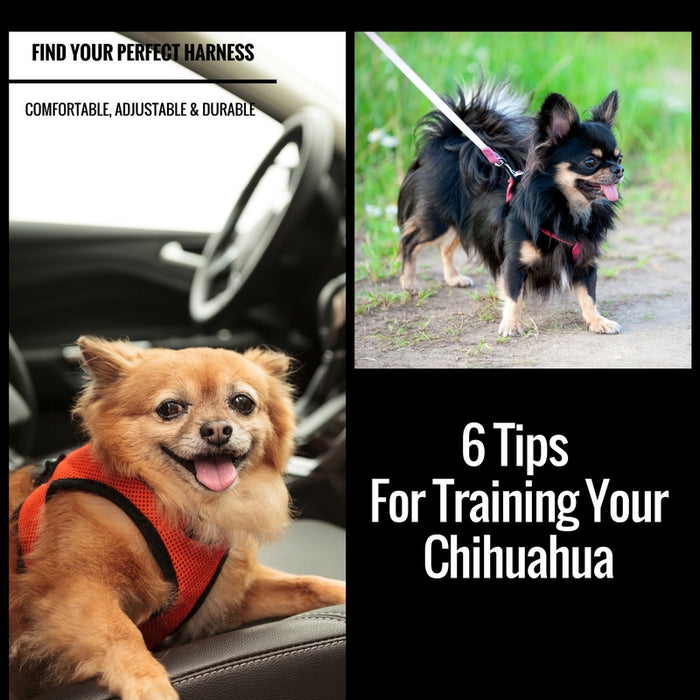 6 Tips For Training Your Chihuahua