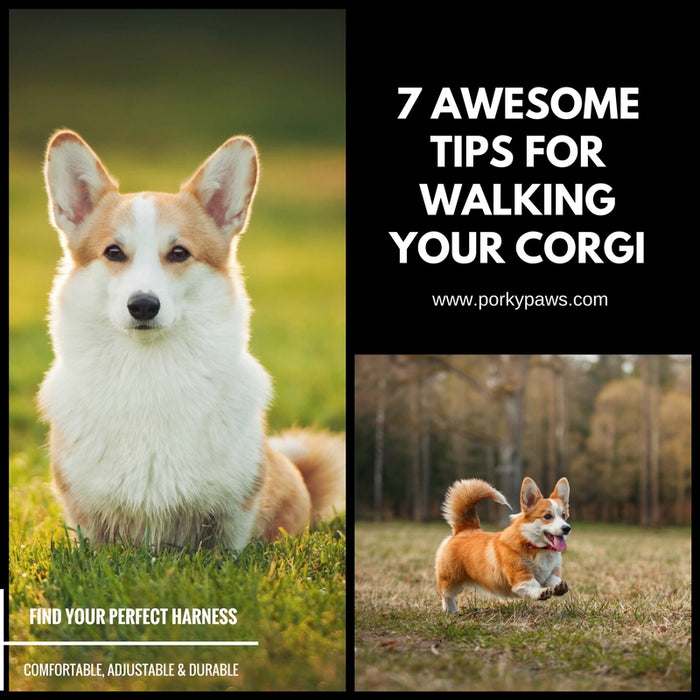 7 Awesome Tips For Walking Your Corgi