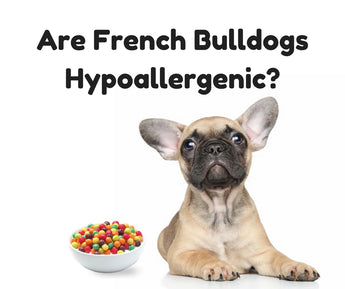 Are French Bulldogs Hypoallergenic?
