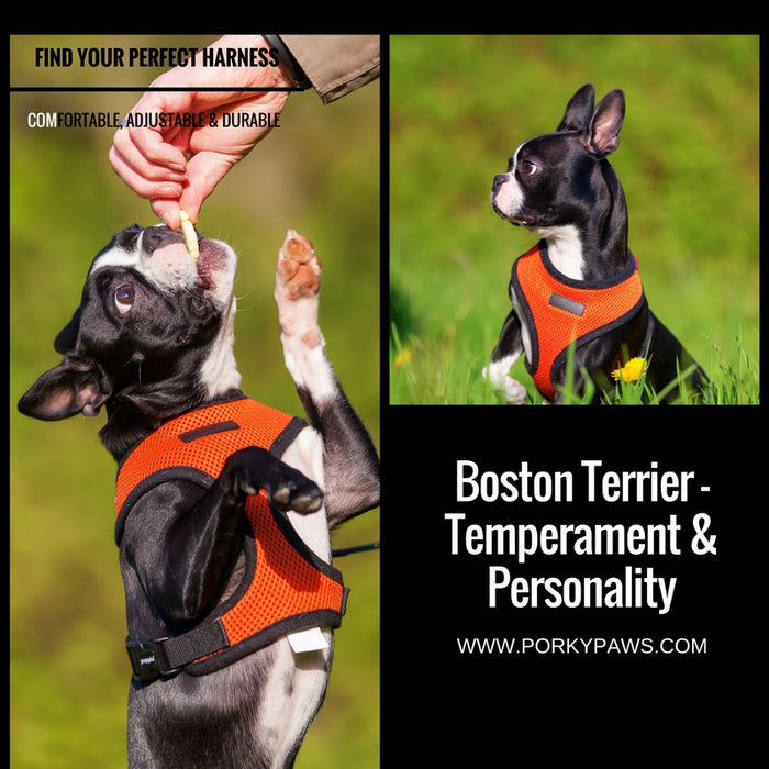 Boston Terrier - Temperament & Personality