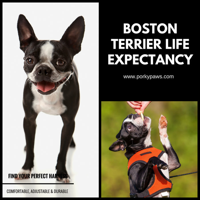 Boston Terrier Life Expectancy