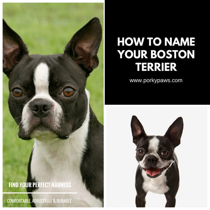 How To Name Your Boston Terrier