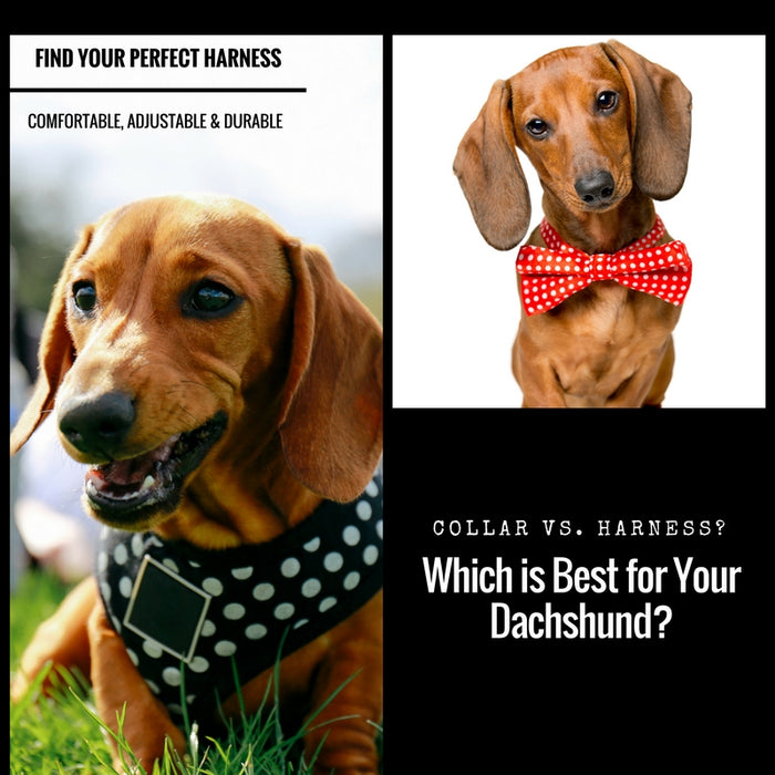 Collar vs. Harness? Which is Best for Your Dachshund?