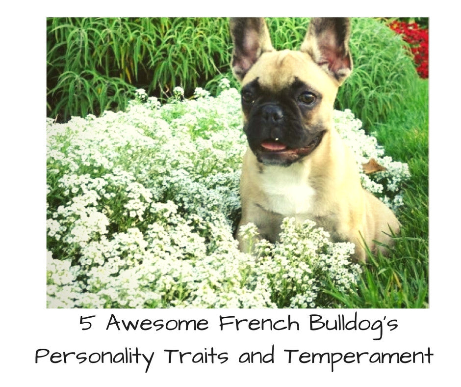 French Bulldog Personality Traits and Temperaments