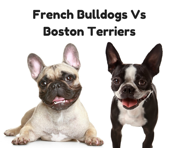 French Bulldogs vs. Boston Terriers