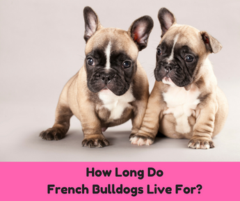 How Long Do French Bulldogs Live For?