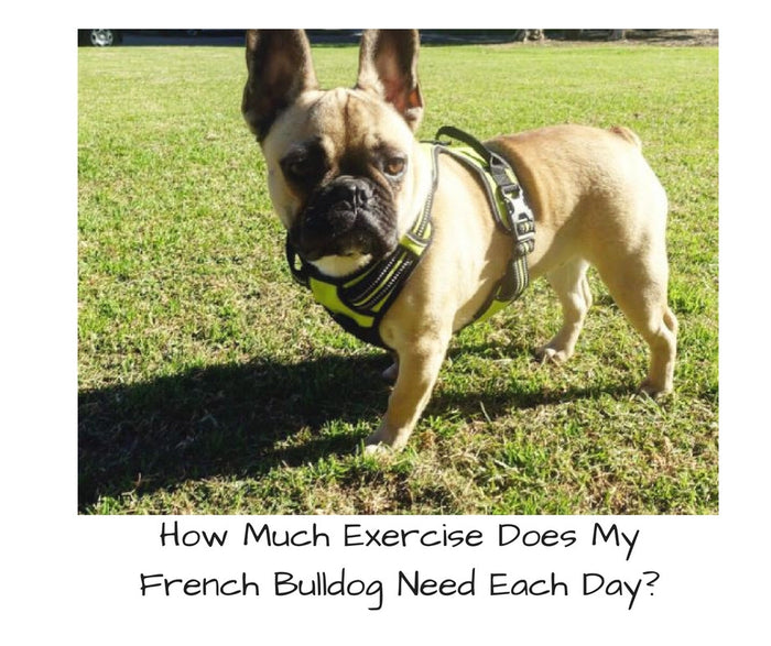 How Much Exercise Does My French Bulldog Need Each Day?
