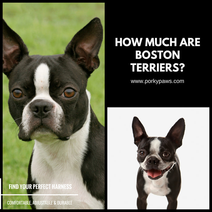 How much are Boston Terriers?