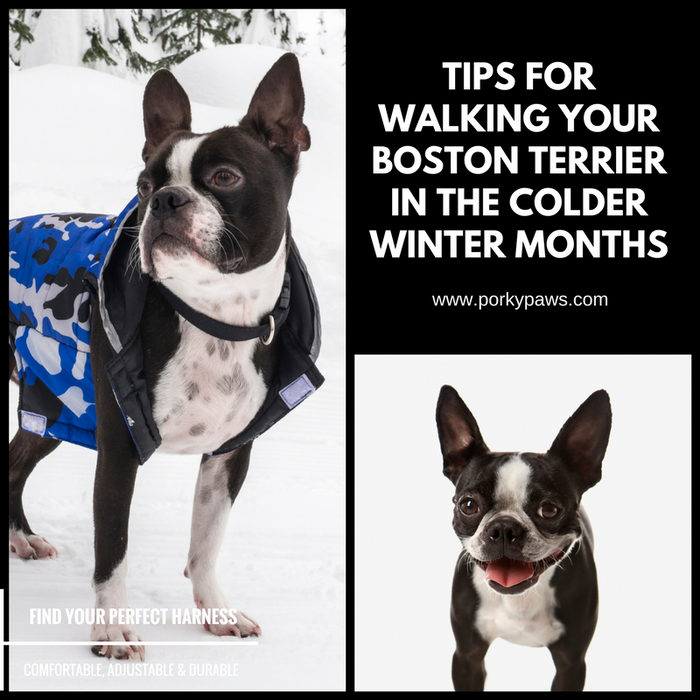 Tips for Walking Your Boston Terrier in the Colder Winter Months