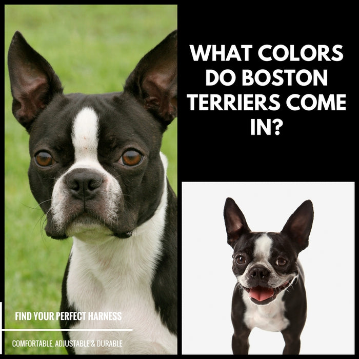 Boston Terrier Colors - What Colors Do Boston Terriers Come In?