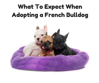 What To Expect When Adopting a French Bulldog