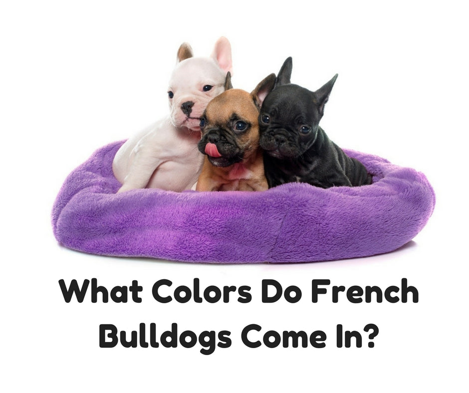 French Bulldog Colors - (What colors do French Bulldogs come