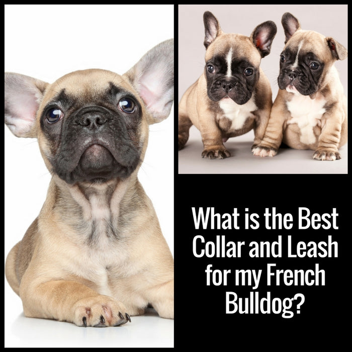What is the Best Collar and Leash for my French Bulldog?