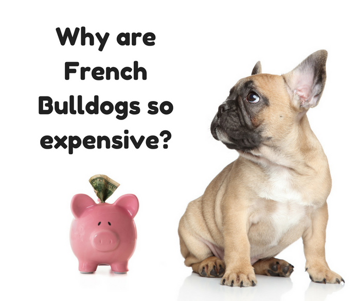 What's the price of a French Bulldog puppy? Why are Frenchies so expensive?
