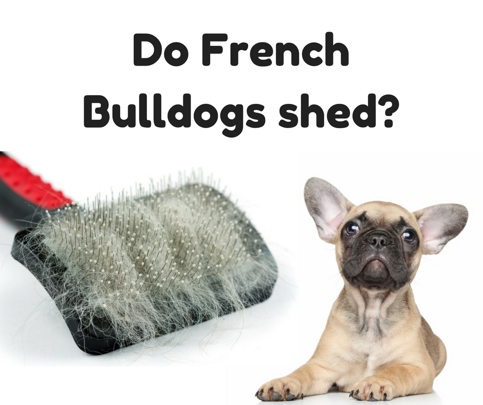 Do French Bulldogs Shed? (10 Best Grooming Tools)