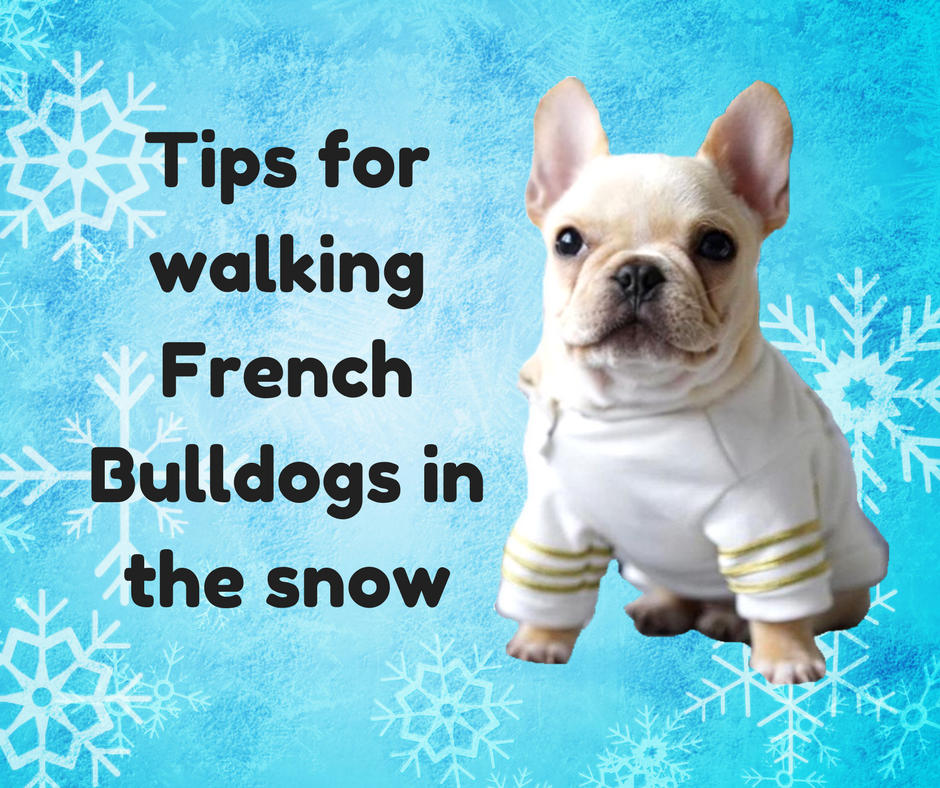 Tips for walking French Bulldogs in the snow