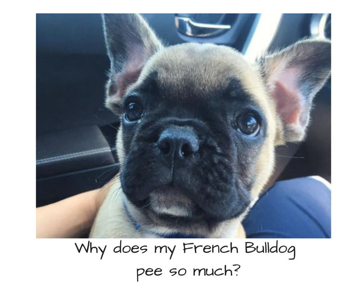 Why does my French Bulldog pee so much?