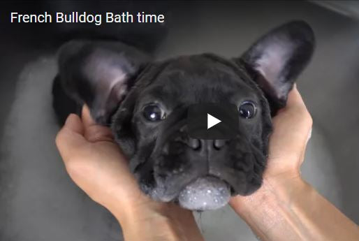 French Bulldog Bath Time
