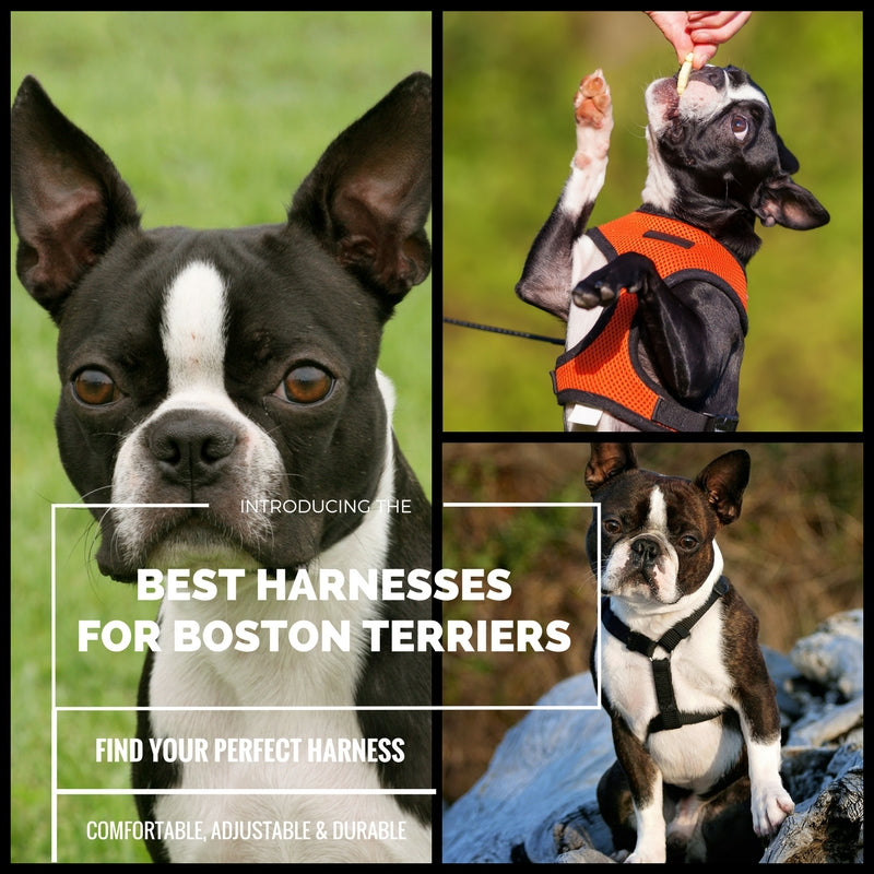 What Is The Best Harness For Boston Terriers?