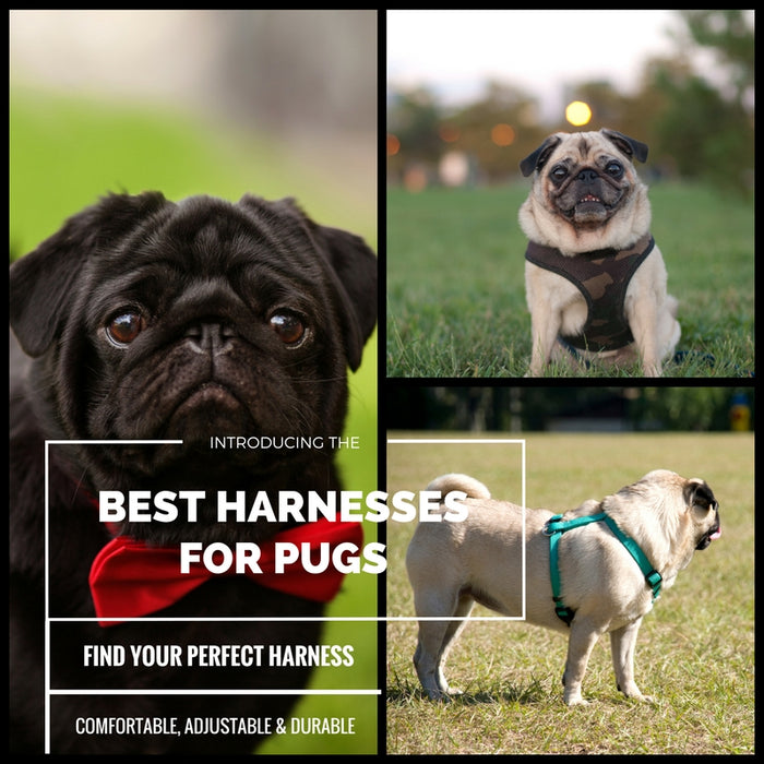 The Best Pug Harnesses (Top 5 Picks in 2018!)