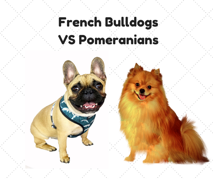 French Bulldogs VS Pomeranian Dogs