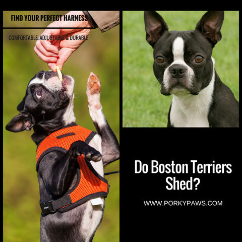Do Boston Terriers Shed?