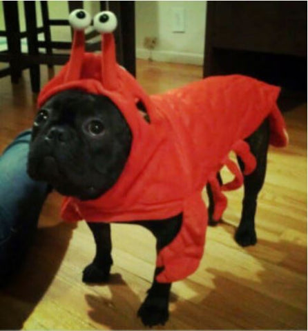 French Bulldog Lobster Outfit