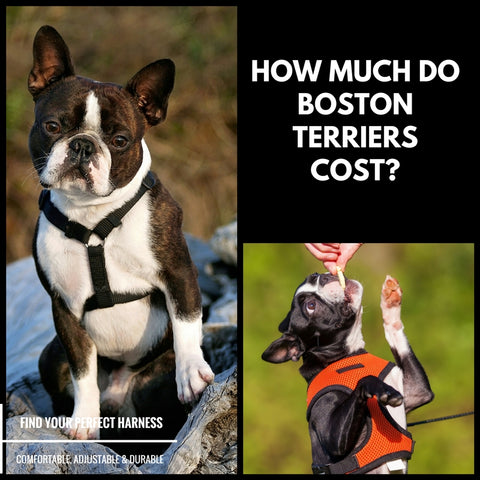 How Much Do Boston Terriers Cost?