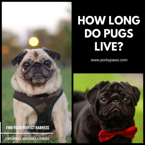 How long do pugs live?