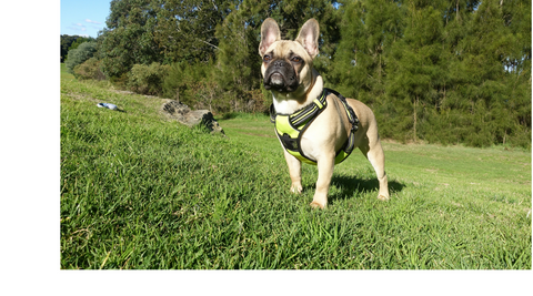 French Bulldog Harness