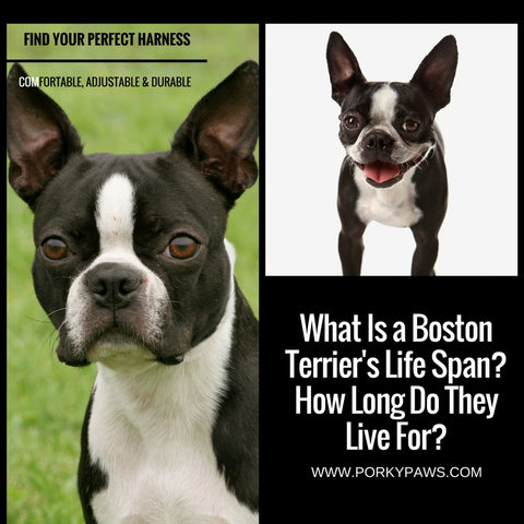 What is a boston terrier's life span?