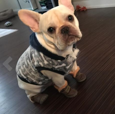 French Bulldog Boots