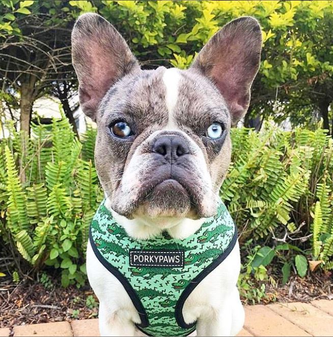 Reversible Form-Fitting Breathable Neoprene Dog Harness in 'Alligator'