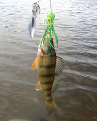 Yellow Perch at Lake Pinchot