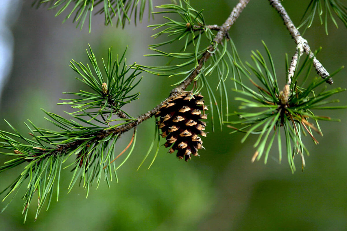 Antioxidant Properties of Pine Cone Extract
