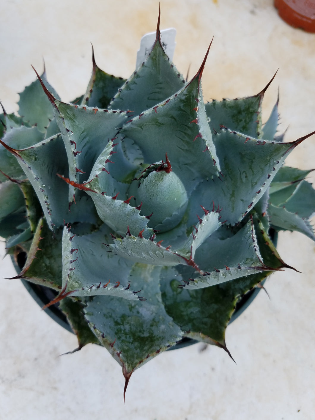 Agave potatorum 'Kichijokan'