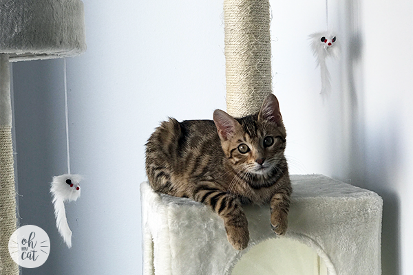 bengal kitten on cat tree