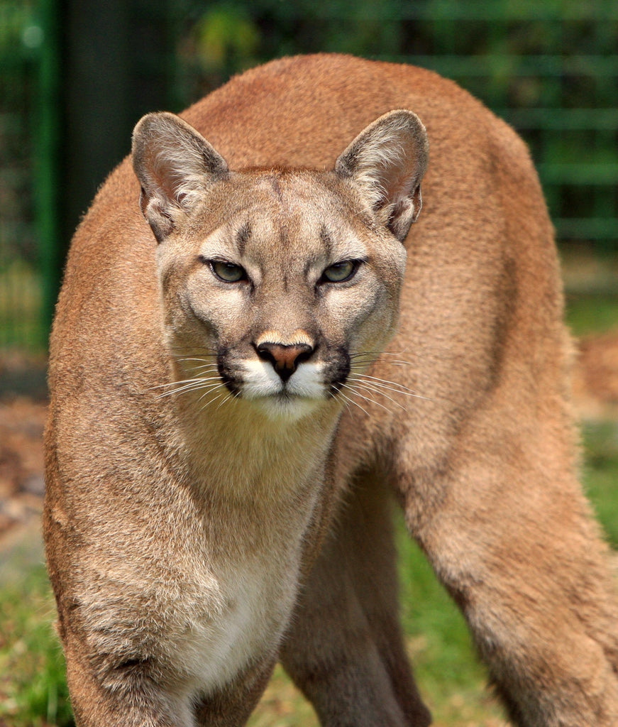 Wildlife Tips: Surviving a Mountain Lion Encounter