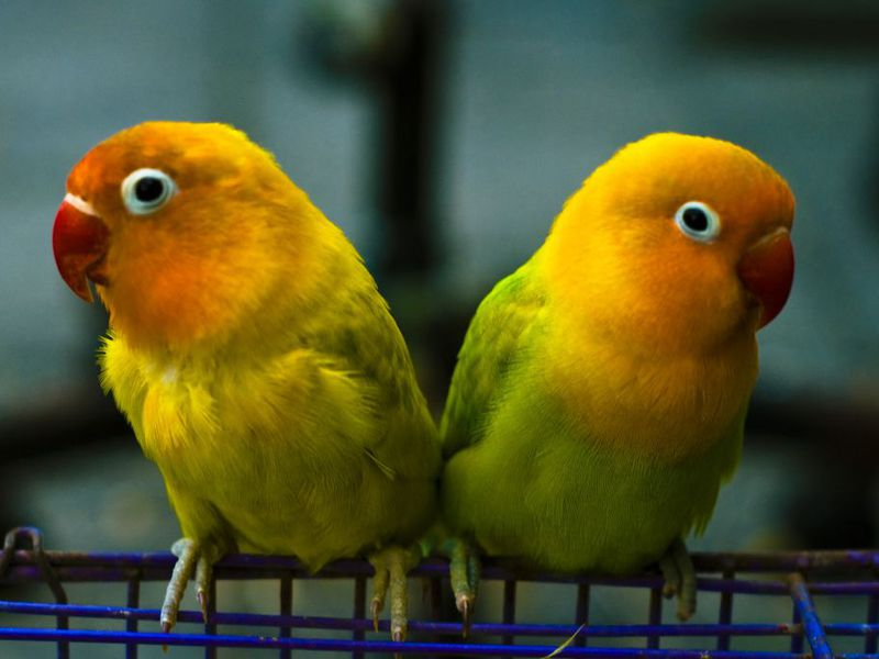 14 FUN FACTS ABOUT LOVEBIRDS