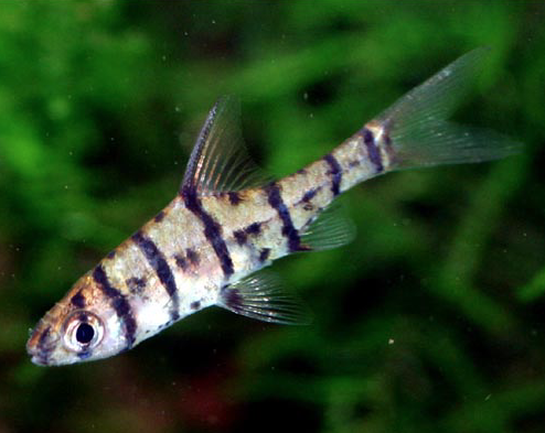 Eight-Banded Barb - the Shyest Tiger