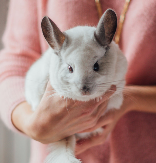 WANT TO BUY A CHINCHILLA? FIVE FACTS TO KEEP IN MIND