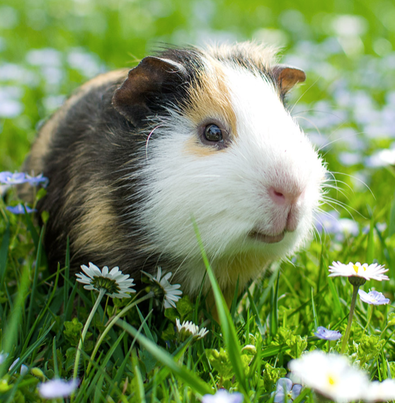 GUINEA PIG CARE: FIVE TIPS TO KEEPING IT IN GOOD HEALTH