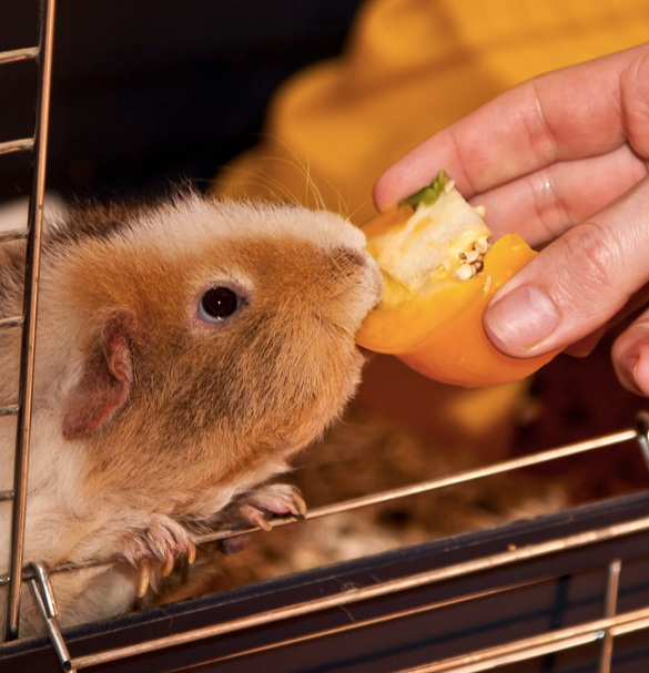 WHY GIVING YOUR GUINEA PIG VITAMIN C IS VITAL