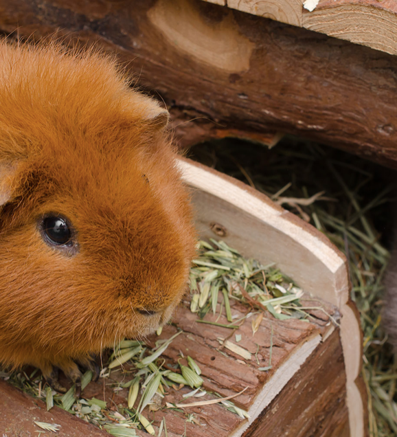 GUINEA PIG CAGES: FIVE TIPS FOR BUYING THE BEST ONE