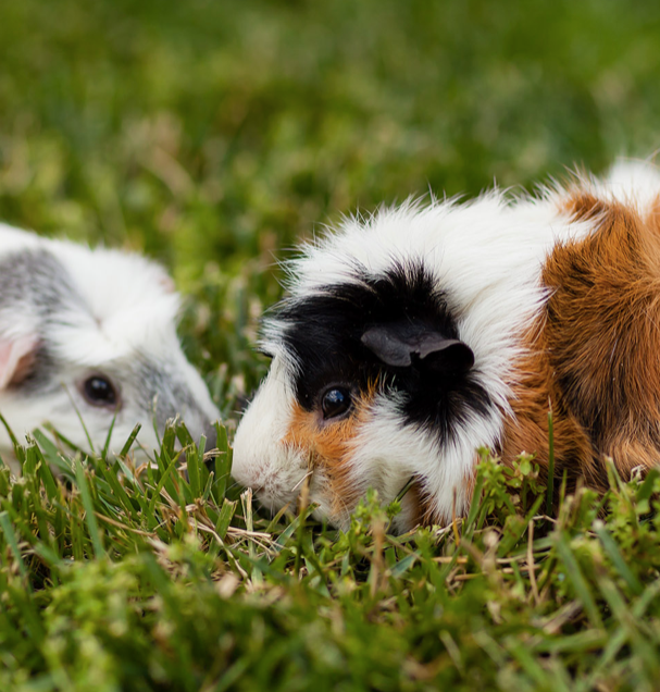 BUYING A GUINEA PIG? HERE ARE FIVE THINGS TO KEEP IN MIND.