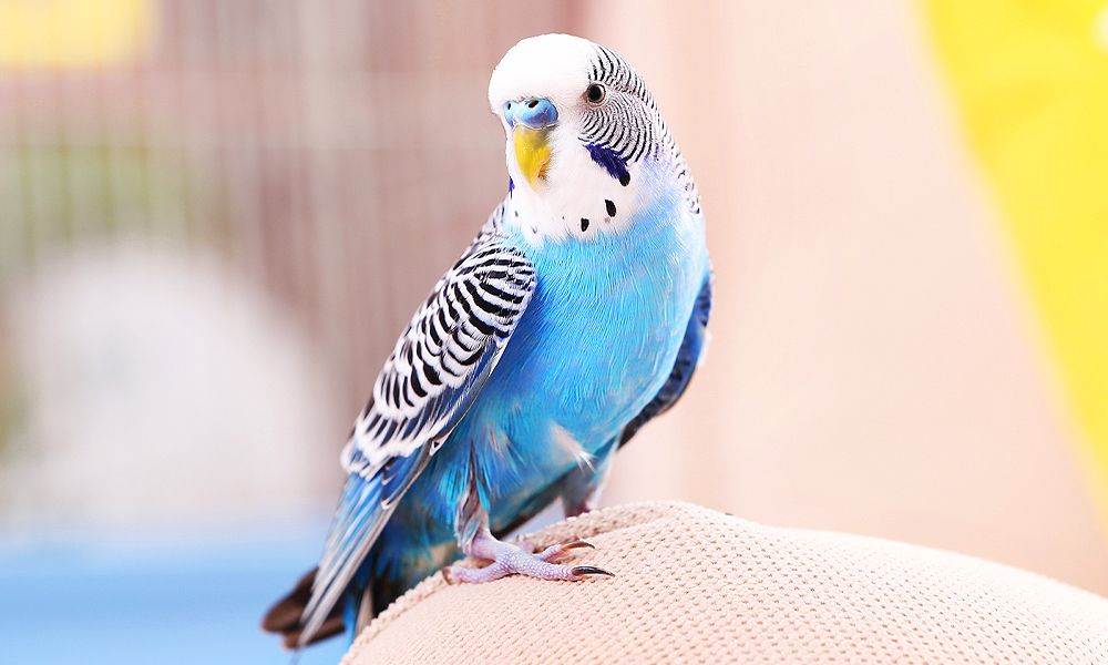 BUDGIE: THE ULTIMATE GUIDE