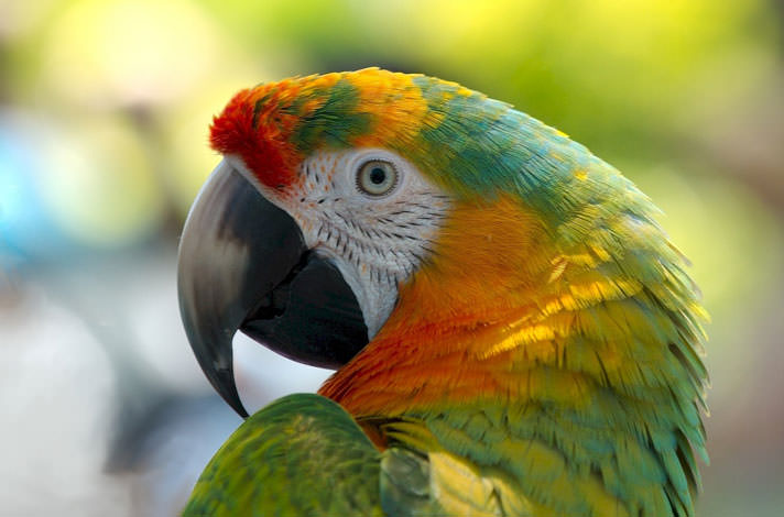 WHY DO PARROTS BOB THEIR HEADS UP AND DOWN