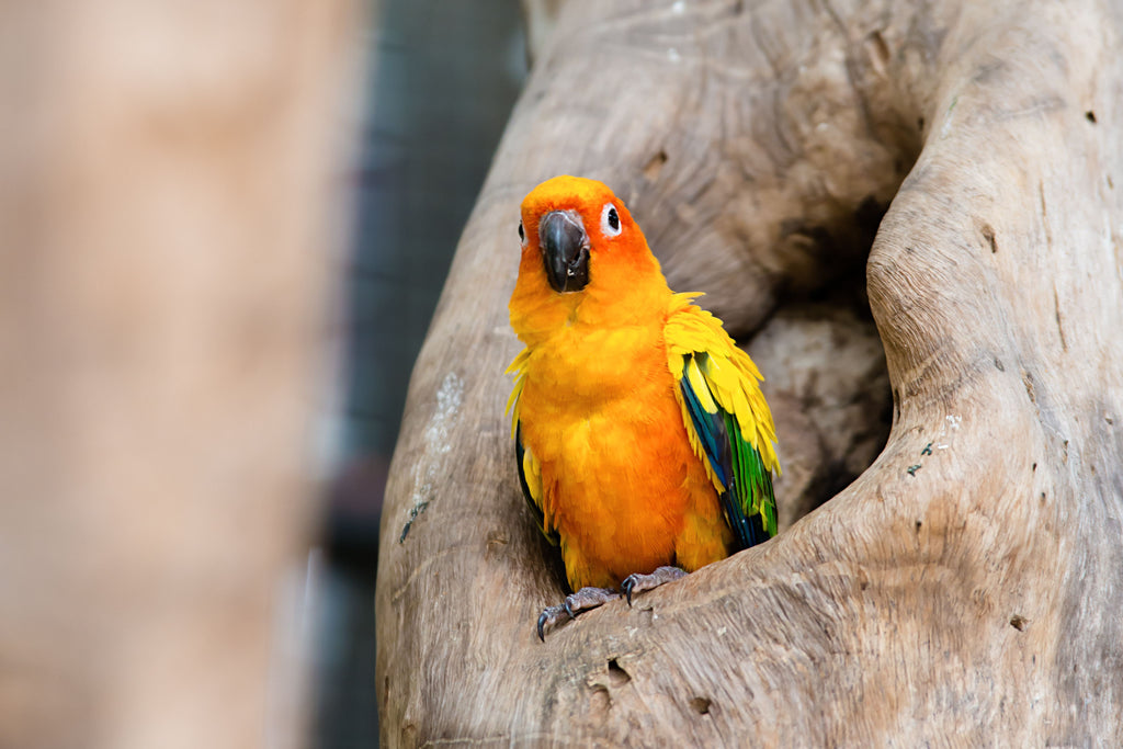 INTERESTING FACTS ABOUT SUN CONURE